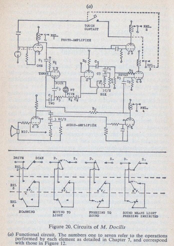 Functional circuit of M. Docilis [from